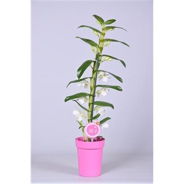"MoreLIPS® Dendrobium ""Nobile"" 1 tak met roze pot"