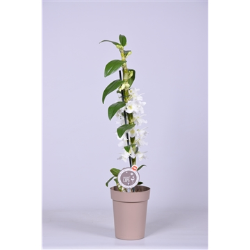 "MoreLIPS® Dendrobium ""Nobile"" 1 tak met taupe pot"