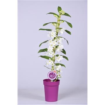 """MoreLIPS® Dendrobium """"Nobile"""" 1 tak met paarse pot"""