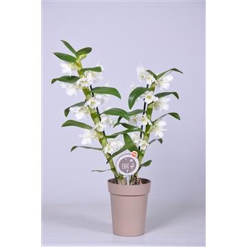 MoreLIPS® Dendrobium 'Nobile' 2 tak met taupe pot