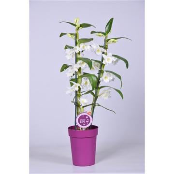 MoreLIPS® Dendrobium 'Nobile' 2 tak met paarse pot