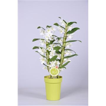 MoreLIPS® Dendrobium 'Nobile' 2 tak met groene pot