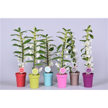 MoreLIPS® Dendrobium 'Nobile' 1 tak mix met gekleurde pot
