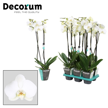 Phalaenopsis 2-Tak Donation 70
