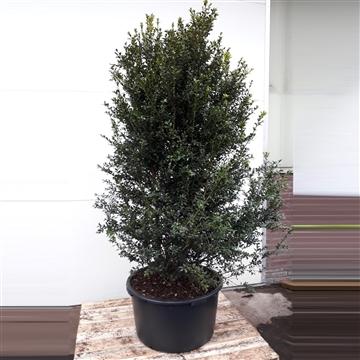 Buxus sempervirens 160/180cm struik