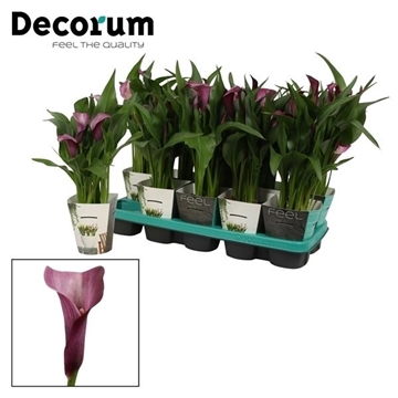 Zantedeschia Grape Velvet in Potcover (Decorum)