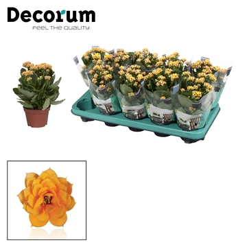 Kalanchoe Decorum - Serenity Gold