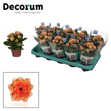 Kalanchoe Decorum - Serenity Peach