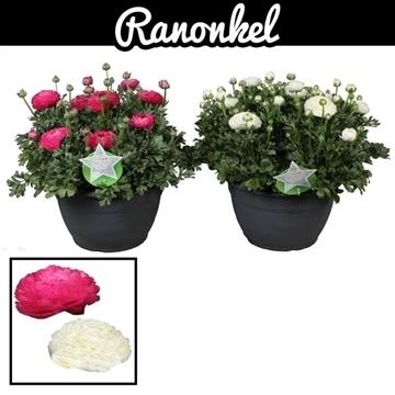 Ranunculus Sprinkles Mix