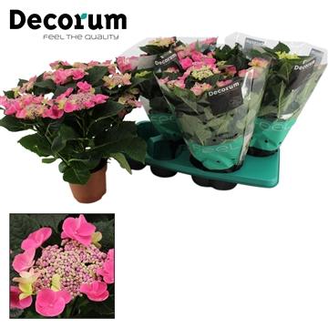 Hydrangea teller roze 5/6 bloem
