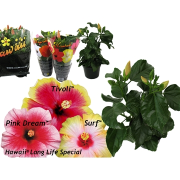 "Hibiscus Hawaii®  Special ""Long Life"" Mix 2-2,5 tak"
