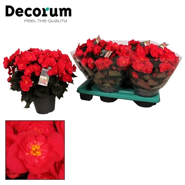 Begonia belove cherry in/outdoor!