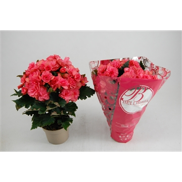 Chloë Coral Pink