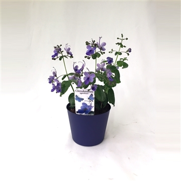 Clerodendrum U.'Tone in Tone' Concept (Blue pot)