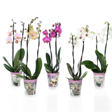 Phal mix 2t12+ in potcover