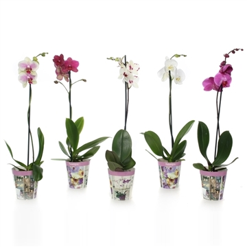 Phal mix 1t6+ in potcover