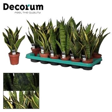 Sansevieria gemengd (Decorum)