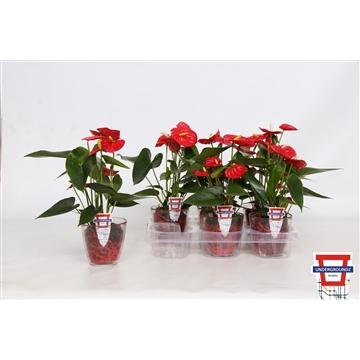Anthurium Undergroundz Piccolo Red