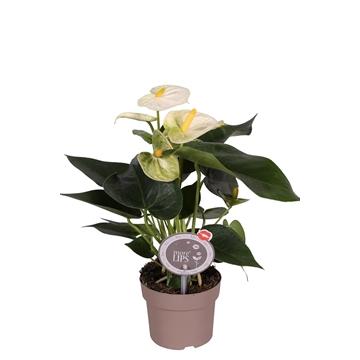 MoreLIPS® Anthurium Bianco