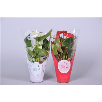 MoreLIPS® Anthurium mix in ShowHoes Kerst