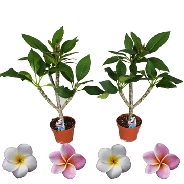 Closed flowers Plumeria Hawaiian  MIX (WHITE/PINK)