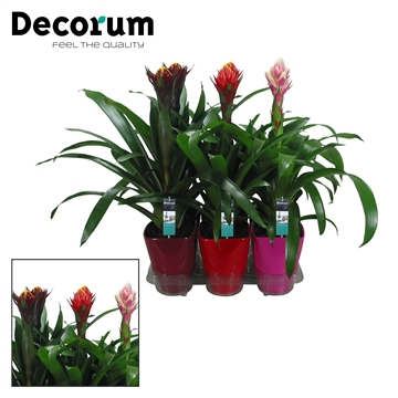 Guzmania Bolmix Exclusive Luxe Keramiek (Decorum)