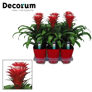 Guzmania Hope Rood-Wit Luxe Keramiek (Decorum)