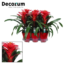 Guzmania Optima Rood Luxe Keramiek (Decorum)