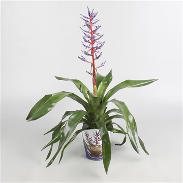 Aechmea Blue Rain XL in potcover