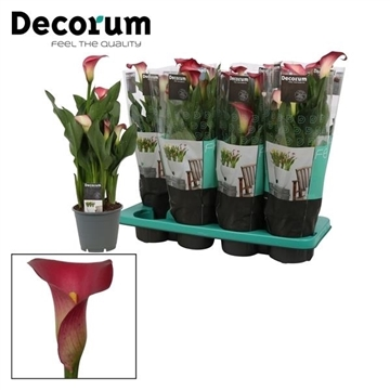 Zantedeschia Pink Puppy (Decorum)