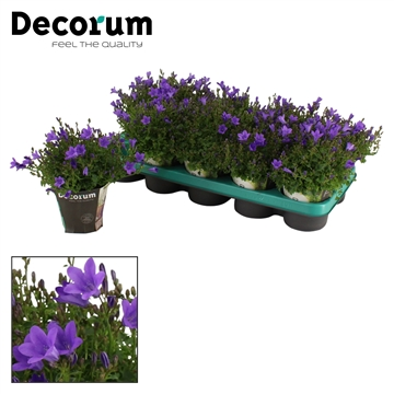 DECORUM-Ambella Intense Purple 10,5 cm