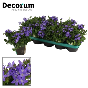 DECORUM-Adansa Purple 10,5 cm