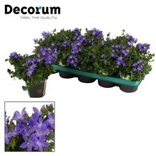 Campanula Adansa Purple 10,5 cm DECORUM