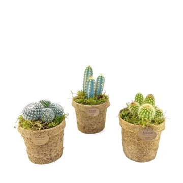 Kokopot 13 cactus    NO PLASTIC 100% natural