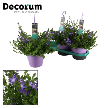 DECORUM-Adansa Purple 19 cm
