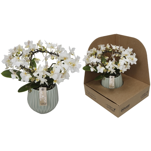 Little Kolibri Orchids Halo White In Fleur Pot Green No Sleeve