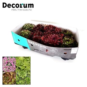 Sempervivum Mix Decorum P14