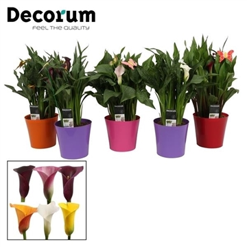 Zantedeschia Mix in Plastic Ompot Linge (Decorum)