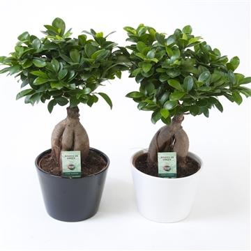 Ficus micr. Ginseng ZWART /WIT KERAMIEK