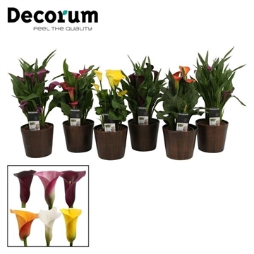 Zantedeschia Mix in Ompot Robin Wood (Decorum)