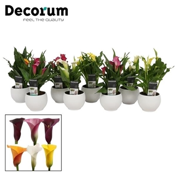 Zantedeschia Mix in Ompot Melanie Wit (Decorum)