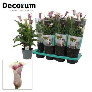 Zantedeschia Picasso (Decorum)