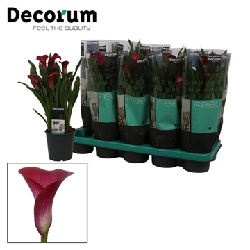 Zantedeschia Callafornia Red 12cm (Decorum)