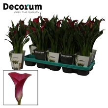 Zantedeschia Callafornia Red in Potcover (Decorum)