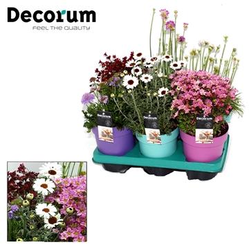 Bloeiende Vaste Planten Decorum P15