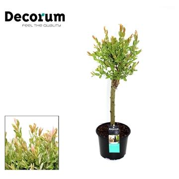 Salix op Stam 30cm Decorum