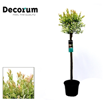 Salix op Stam 60cm Decorum