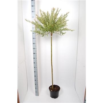 Salix int. Hakuro Nishiki 120cm stam C7,5