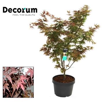 Acer Atropurpureum Decorum C15