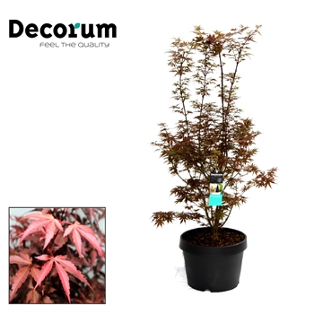 Acer Skeeters Broom Decorum C15